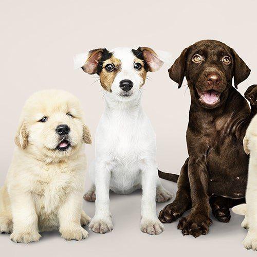 Razze di Cani Categoria