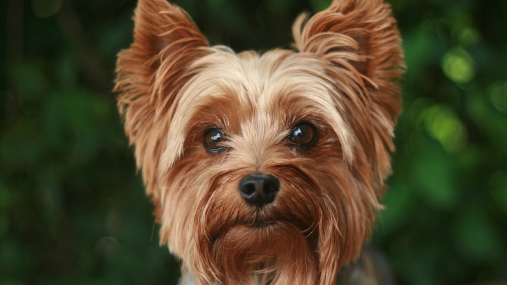 yorkshire terrier muso